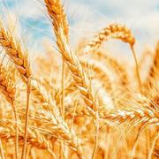 El trigo de alta calidad, una oportunidad de negocio